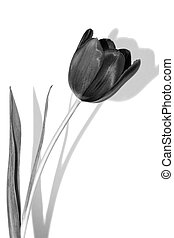 Tulip with shadow, black and white, isolated on white...