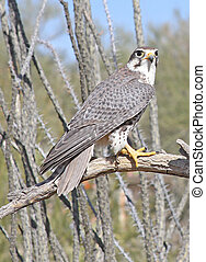 Prairie Falcon (Falco mexicanus) in southeastern Arizona