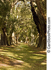 Shady Oak Lane - Massive old southern oak trees draped with...