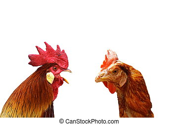 concept of family argue with two isolated birds ( rooster...