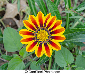 Gazania, ensolarado, flor