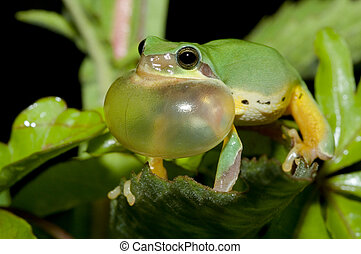 Tree frog courtship in spring, Chinese Tree Toad Hyla...