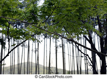 Bamboo - Changwon