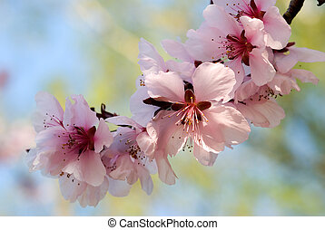 blooming cherry plum tree twig on blue sky background