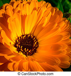 big orange red blossom of marigold flower with sunlight