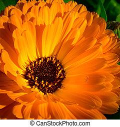 Cielna, pomarańcza, czerwony, kwiat, Nagietek, kwiat,...