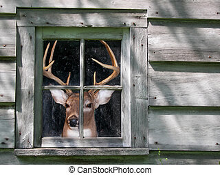 Deer Blind - Big buck peeking from inside an old cabin.