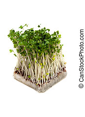 Broccoli Sprouts-Brassica oleracea, This image is available...