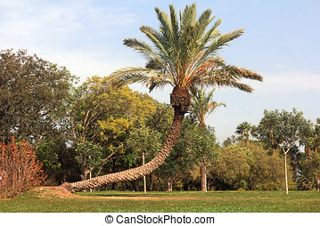 bended palm tree in the park