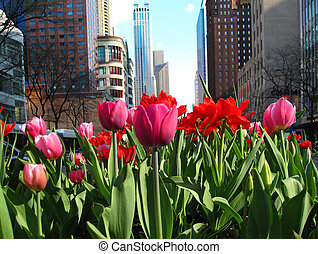 Michigan Avenue with blooming tulips - Tulips in bloom...