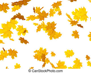Leafs of a maple