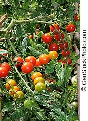 Sweet Million cherry tomato plant. - Cherry tomatoes...