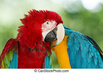 Macaws parrots - Pair of colorful Macaws parrots