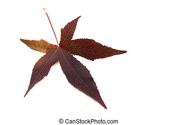Red Maple leaves on white background
