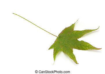 Green Maple leaves on white background.