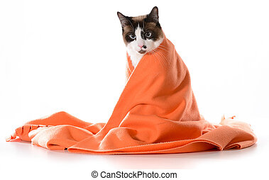 cat under covers - ragdoll sitting under orange blanket on...