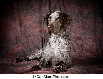 german shorthaired pointer laying down on purple background