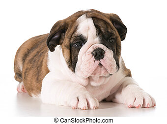 cute puppy - young english bulldog laying down on isolated...