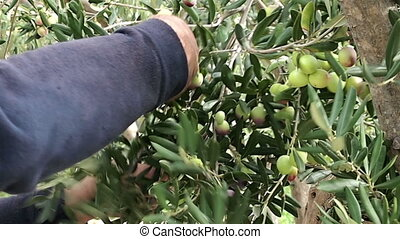 Man picking olives - Man picking olive fruits from tree on...