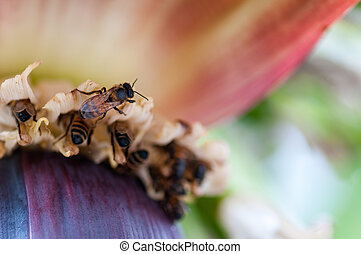 Bees pollinating a banana flower