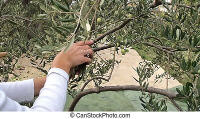 Woman picking green olives