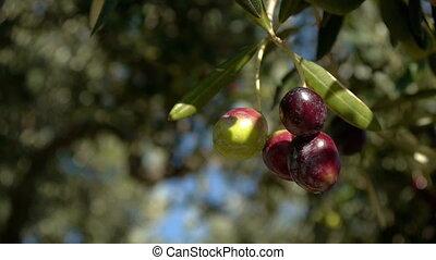 Olives close up