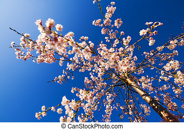 Weeping cherry - Blooming weeping cherry with clear blue...