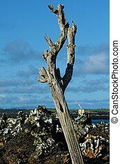 Toter Baum auf Galapagos