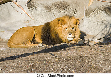 Lion laying down, looking alert