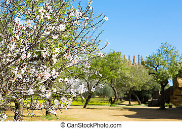 Almond tree and Temple of Juno. Valley of the Temples in...