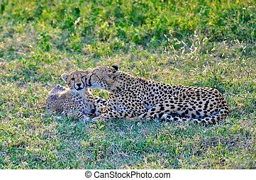 Cheetah in the park with cubs