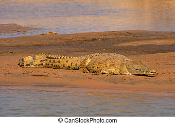 nile crocodile waiting for prey on riverside