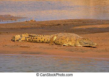 nile crocodile waiting for prey on riverside