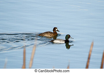 Lesser Scaup  - Lesser Scaup, male and female