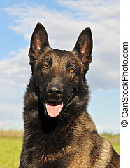belgian shepherd malinois - portrait of a beautiful purebred...