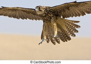 Falcon In Flight - A falcon coming for the kill, shot in a...