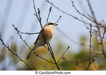 Red-backed Shrike (Lanius collurio) in Japan