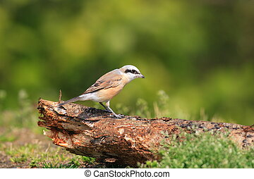 Red-backed Shrike Lanius collurio in Japan