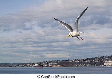Seagull with Popcorn - A seagull catches popcorn in mid-air,...