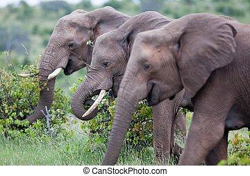 Jordi Fernandez - elephant, tusk and herd