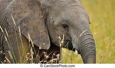 elephant, tusk and herd