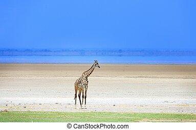 giraffe in Tanzania national park