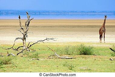 坦桑尼亞, 長頸鹿, 公園, 國家