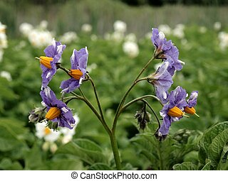 Blooming flowers of potato plant