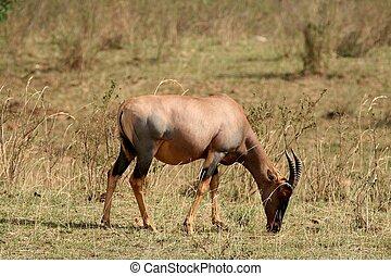 impala in Tanzania national park