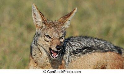 jackal feeding