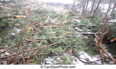 fir-tree logging, the left cut trees - thrown fir-trees...