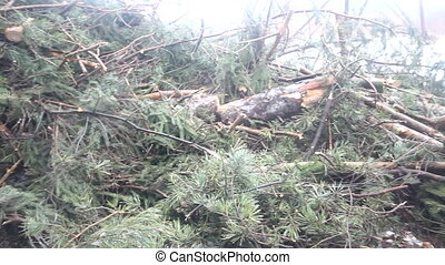 fir-tree logging, the left cut trees - thrown fir-trees...