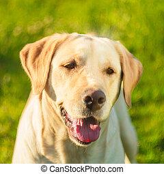 Young Labrador