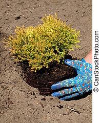 Planting - Juniper seedling and garden work in soil